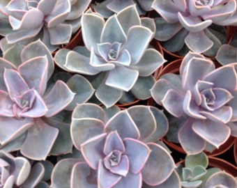 Succulent plant, Echeveria Perle Von Nurnberg. This is a 2 plant listing for plants in 4 inch pots.