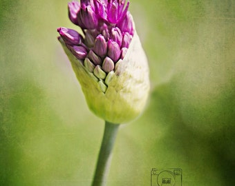 Emerging... Flower, rich greens and purples photograph 8x10