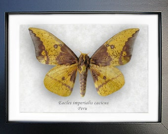 Real Moth Eacles Imperialis From Peru In Shadowbox
