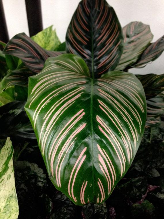 Calathea prayer dottie plant 4 pot live tropical plant for Prayer palm plant