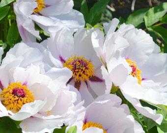 SPRING SPECIAL Tree Peony Rockii Pink 2015 Seeds