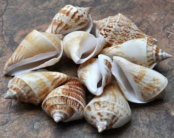 Margined Conch Seashells (10 pcs.) - Strombus Marginatus