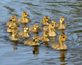 Duckling Family Photography, Duck siblings Portrait Michigan wildlife photography, blue yellow