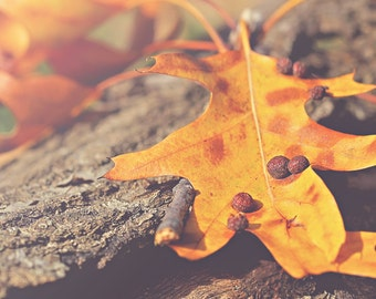 Yellow Oak Color Photo Print { yellow, brown, leaf, tree, branch, fall, sunshine, sunlight, wall art, macro, nature & fine art photography }