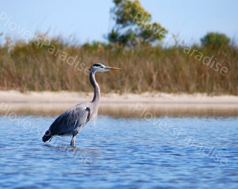Beautiful Great Blue Heron Photograph // Wading Bird in Water // Bird Art // Nature Photography