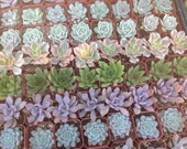 This listing is for  100 rosette  succulents growing in 2  inch pots . We will hand select a healthy and beautiful assortment of succulents
