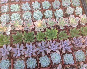 This listing is for  150 rosette  succulents growing in 2  inch pots . We will hand select a healthy and beautiful assortment of succulents