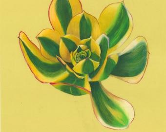 Original pastel drawing of a sunburst succulent