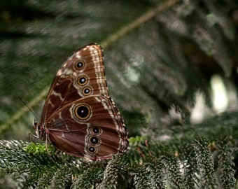 "Photograph - Butterfly - ""Owl Butterfly"" - Butterfly Photograpy - Wall Art"