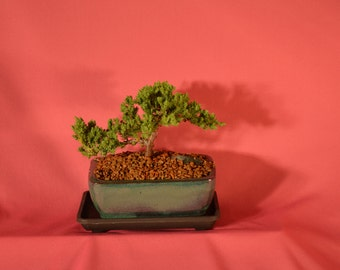 Japanese Juniper, Traditional Bonsai, 3 years old.