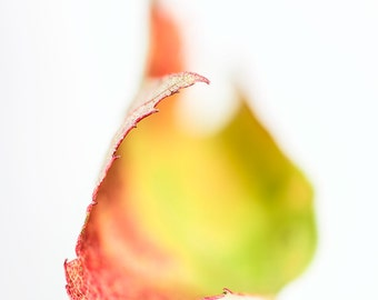 Spectrum - an abstract fine art print of a maple leaf