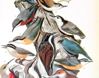 Bird Print - Pygmy Nuthatch, Wall Creeper, Rock Nuthatch, White Naped Honey Eater - 1973 Vintage Bird Print - 2 Sided Page from Encyclopedia