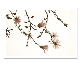 Minimalist Magnolia Pink Flower Botanical Spring Photography Print