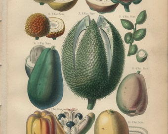 Guava, Jujube, Lychee, Pistachio, Antique, Vintage Hi-Res Digital Raw Scan, Download for Artwork and Printing, William Rhind 13