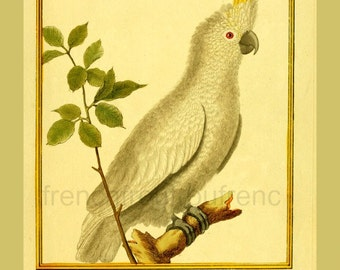 antique french birds illustration parrot kakapo cacatoes DIGITAL DOWNLOAD