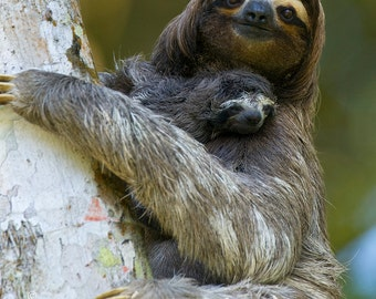 Image result for cute baby sloth with mommy