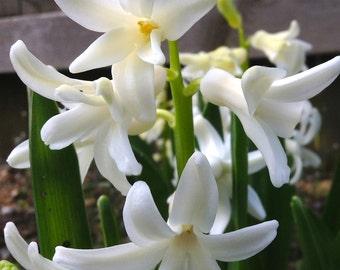 White Hyacinth I Nature Photograph