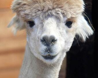 Nature Photography, Animal Photography, Alpaca, or Llama, Animal Photo, 8x10
