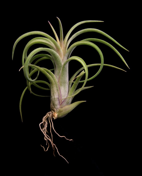 Tillandsia paucifolia red hybrid Tillandsia hybrids