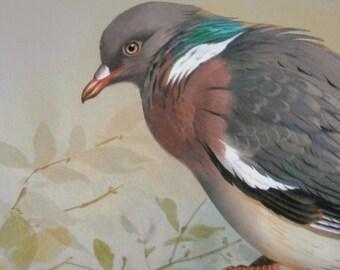 Vintage Bird Book Plate Page of Wood Pigeon n Turtle Dove printed 1965 Illustration