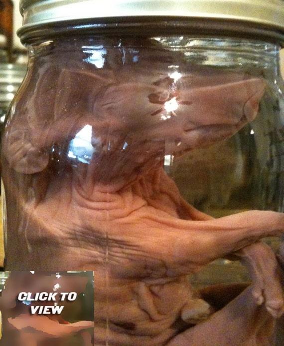 Classic Fetal Pig in a Jar - Preserved Wet Specimen Taxidermy