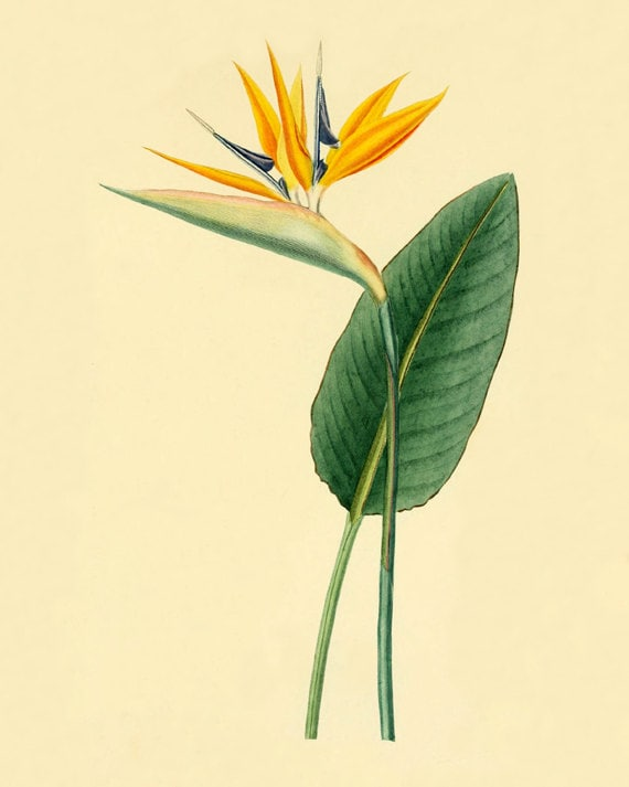 Wall Art Flowers And Birds : Vintage bird of paradise flower art antique by