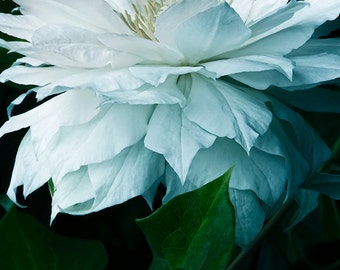 White Clematis  with blue shadows and black background #008 fine art flower photography giclée