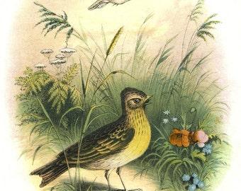 Vintage Singing SKYKARK BIRD in meadow postcard- Digital INSTANT Download - nature avian songbird ephemera print collage supply