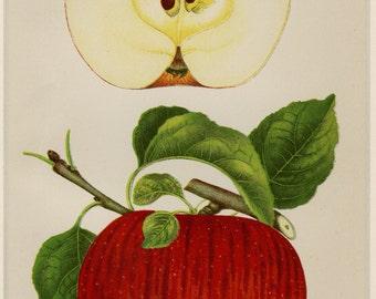 "MattedMatted Antique Fruit Print ""Jeffries Apple"" C. 1888 U.S. Department of Agriculture Botanical Apples 11 x 14"""
