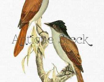 Antique Birds Image - Vintage Mascarene Paradise-flycatcher Illustration - Iron on Transfer, Scrapbook, Invites, Greeting Cards...