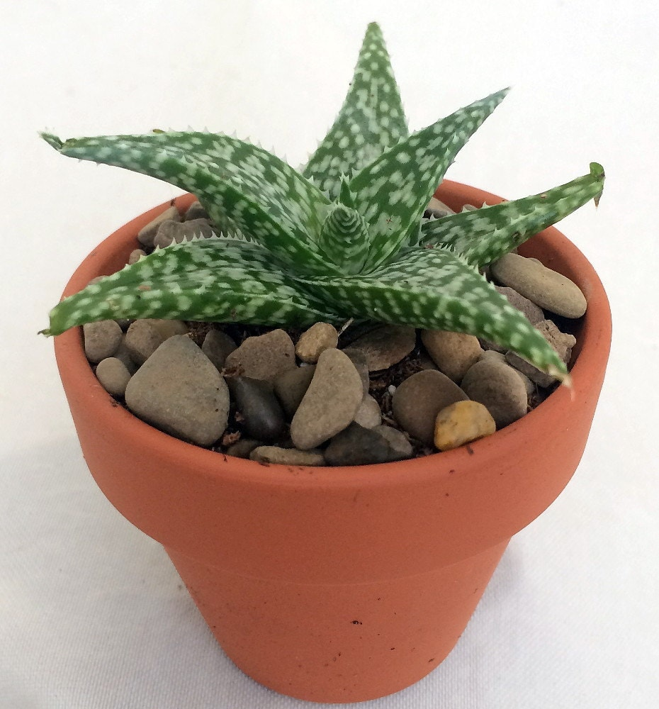 white fox aloe vera in 2 5 clay pot medicine plant burn plant miracle plant from hirtsgardens. Black Bedroom Furniture Sets. Home Design Ideas