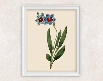 Ixia Lily Botanical Print - Red & Blue Flower Art - 8x10 Wall Art Prints - Antique Prints - Home Decor - Botanical Art Print -  Item #134