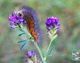 Caterpillar on Flower - Wildlife Animal Nature Photography from Alberta, Canada
