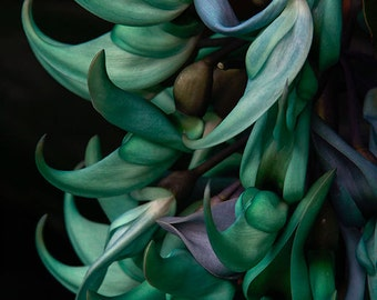 Exotic Jade Vine - Turquoise Tropical Flower Photo