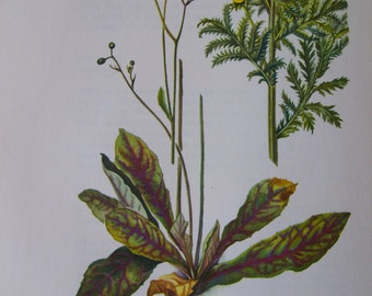 Rattlesnake weed Hieracium venosum and Common Tansy Tanacetum vulgare, Vintage illustration flower print