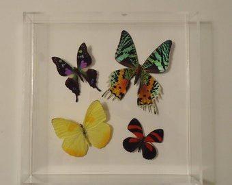 real butterflies, butterfly display, framed butterflies, mounted butterflies butterfly art, real butterfly art, butterfly gifts
