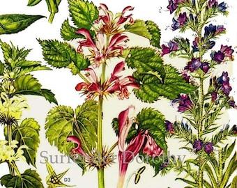 Alkanet Forget Me Not Blue Bugle Flower Poster Botanical Exotica Europe Large Vintage Illustration To Frame 20