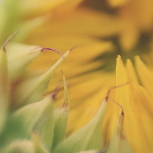 Yellow Sunflower Macro Trina Baker Photography