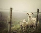 Farm Decor, Sheep Art, Farmhouse Decor, Rustic Decor, Sheep Photo, Animal Photography, Icelandic Sheep - Here's Looking at Ewe