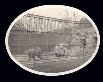 Vintage photo Washington DC Zoo Polar bears 1899