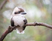 Baby Kookaburra print - 5x7 OR 8x10 inches - Fine Art nature decor, nursery art, baby bird, baby animal, Australia