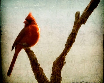 Red Blue Cardinal Photograph--Cardinal II--Fine Art