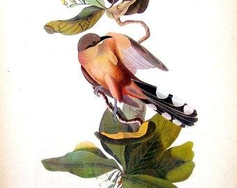 Maynard's Cuckoo, Gray Kingbird - Audubon Bird Print -12 x 9 - 1942 Vintage Book Page