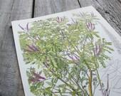 Botanical Print, False Indigo, Shrub and Tree Studies