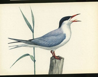 Bird postcard - The Common Tern , Sterno hirundo, artist signed J. Desselberger vintage post card