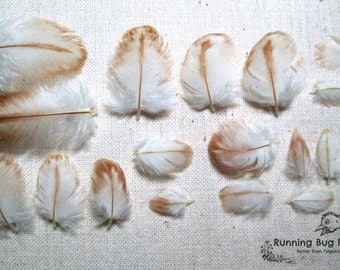 """Tiny Feathers Real Bird Feathers Natural Feather Real Loose Mini Feather White Laced Red Cornish Hen Feathers For Crafts 30 @ < 1.5"""" / 53938"""