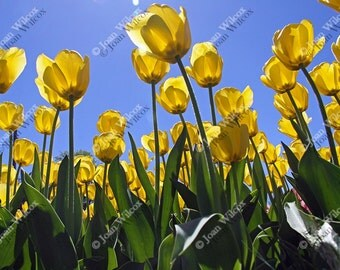 Golden Tulips of Highland Park Rochester, NY Floral Fine Art Photography Photo Print
