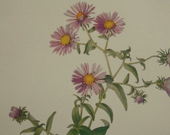 Botanical wildflowers print, flowers, Vintage 1924, New England Aster