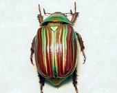Valentine's Day Gift Real Jewel Scarab Rare Beetle Green Orange Plusiotis Adelaida 8241