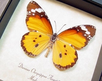 Real Framed Butterfly African Monarch Danaus chrysippus aegyptius 8171